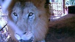 Truy lùng băng đảng ăn trộm... con sư tử nặng 300 kg