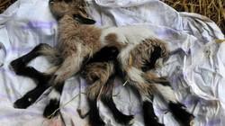 Dê 8 chân và 2 bộ phận sinh dục chào đời ở nông trại