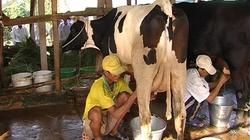 Sóc Trăng: Phát triển chăn nuôi bò sữa