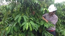 Mùa mưa tăng dinh dưỡng cho cây tiêu