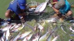 Cơ sở nuôi cá tra phải có chứng nhận VietGAP