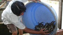 Thương lái Trung Quốc đột nhiên vơ vét, mua kiệt cá sấu ở TP.HCM