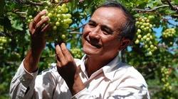Ninh Thuận: Cho vay 300 triệu đồng chăm sóc vườn nho