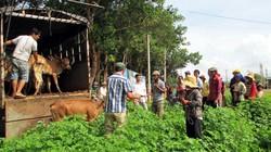 Gia Lai: Cấp bò sinh sản cho hộ nghèo
