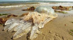 Phát hiện con sứa khổng lồ to gần bằng người trưởng thành