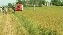 Vụ lúa đông xuân ở Thừa Thiên- Huế: Cả năng suất và giá bán đều cao