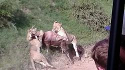 Cảnh cặp sư tử vồ con linh dương đẹp chưa từng thấy