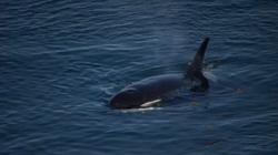Bắt gặp cá voi trăm tuổi, sống lâu nhất thế giới