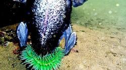 Ngỡ ngàng hình ảnh hải quỳ ăn thịt chim biển