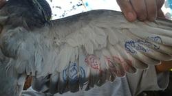 Bắt được chim bồ câu có ký tự lạ ở cánh và chân tại Hoàng Sa