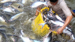 Giá cá tra giảm mạnh
