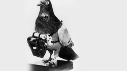 """Nhận diện """"đội quân tình báo"""" chim bồ câu chuyên nghiệp"""