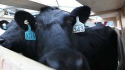 Vinamilk tiếp tục nhập bò sữa cao sản từ Úc