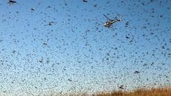 Đại dịch châu chấu tàn phá Madagascar