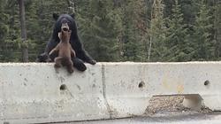 Kỳ lạ: Gấu mẹ tha con băng qua... đường cao tốc