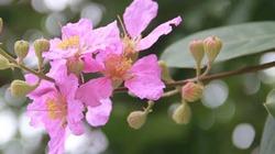 Trời Hà Nội tím sắc hoa bằng lăng