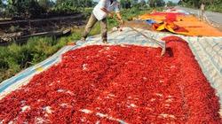 Thừa Thiên - Huế: Tỉnh và doanh nghiệp lo tiêu thụ ớt
