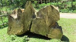 Hòa Bình: Thanh lý cây khô, hạ sát... đại thụ chò nâu nghìn tuổi