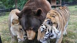 Kỳ lạ: Sư tử, hổ, gấu đen thân thiết như anh em