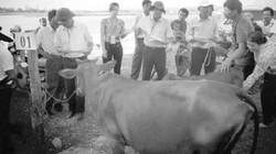 Nông dân  đua tài nuôi bò lai