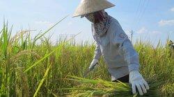Đi gặt từ 3 giờ sáng để tránh nắng