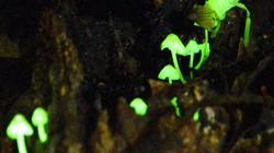 Kỳ lạ loại nấm có thể phát sáng huyền diệu