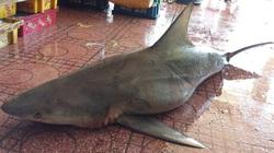 Bắt được cá mập ở bờ biển Quy Nhơn