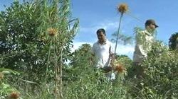 """Phát hiện nguyên một """"trang trại"""" trồng cần sa"""