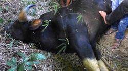 Bò tót húc chết và bị thương 5 người đã tắt thở