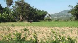 Bò tót húc 3 người thương vong ở Quảng Nam