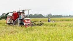 Quảng Trị thu hoạch lúa đông xuân: Năng suất cao nhất từ trước đến nay