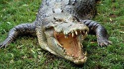 """Kỳ lạ: Cá sấu nhập viện vì bị nữ nhân """"siêu khủng"""" đè đầu"""