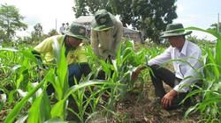 Giải bài toán chuyển đổi 112.000ha đất lúa: Bất ngờ với cây ngô