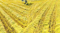 Lúa hè thu giảm giá đầu vụ thu hoạch