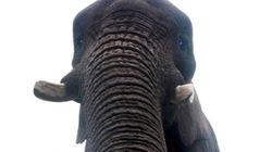 Kỳ lạ voi biết chụp ảnh tự sướng bằng smartphone