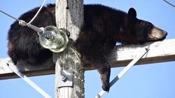 Gấu đen leo lên đỉnh cột điện cao thế ngủ say như chết