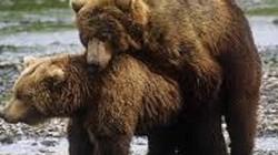 """Chiến thuật """"sex vô tội vạ"""" để bảo vệ con của gấu Bắc Âu"""