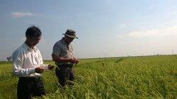 Vân Quang 14 - giống lúa lai chất lượng cao