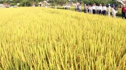 Quảng Trị: Chuyển giao nhiều giống lúa tốt cho nông dân