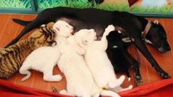 Ba sư tử trắng bú nhờ... chó mẹ