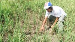 Tiền Giang: Hơn 400ha lúa hè thu chết do thiếu nước