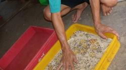 Người dân TP.HCM  vẫn vô tư nuôi sâu gạo