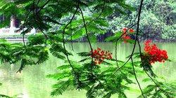 Chùm ảnh: Hồ Gươm xanh…