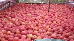 Yêu cầu Trung Quốc trả lời về gần 300 tấn hoa quả nhiễm độc tuồn sang Việt Nam