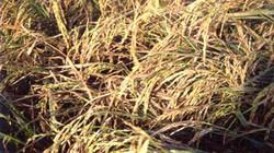 Tuần từ 9 - 15.6:  Khô vằn tiếp tục gây hại trên lúa