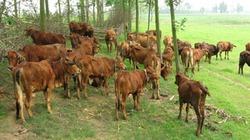 Kinh nghiệm chữa cảm nắng cho trâu bò