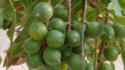 Trồng cây mắc ca, thương lái mua tại vườn 100.000đồng/kg