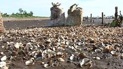 Thái Bình: Ngao chết trắng bãi, nông dân lâm nợ