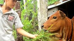 Nắng hạn thiêu đốt, nông dân Quảng Ngãi gặt lúa cho... bò ăn
