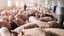Nghệ An: Mở lớp dạy nghề nuôi lợn